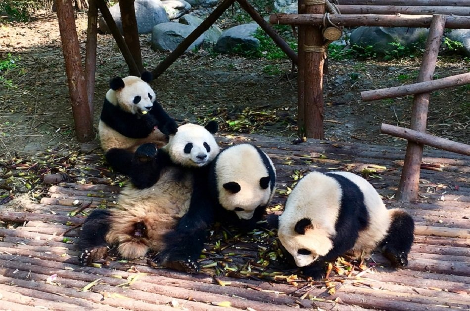 Chengdu Guided Private Tour of Giant Pandas and Mysterious Sanxingdui Ruins
