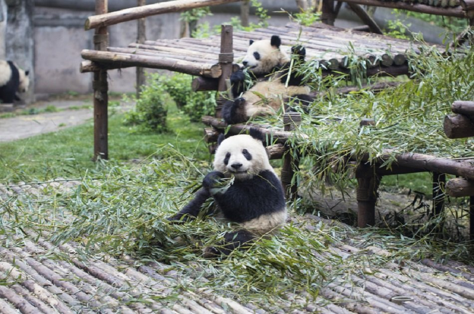 Chengdu Impression Private Day Tour of Giant Panda and Sichuan Cuisine Museum