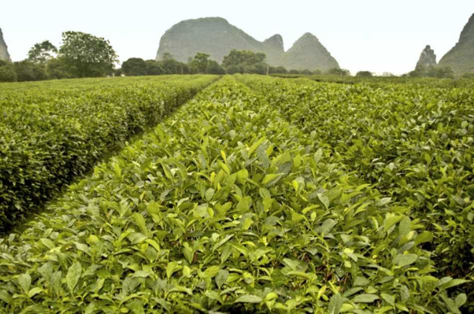 Full Day Private Tour of Daxu Old Town and Yaoshan Tea Plantation