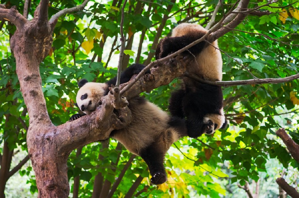 Giant Pandas and Huanglongxi Ancient Town in One Day From Chengdu on a Private Tour